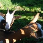 Ziegen und Hasen kann man auf dem Kranzhorn füttern und streicheln
