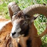 Ein Mufflon mit schönen Hörnern, das Wildschaf stammt aus Sardinien und Korsika undist der Vorfahre unserer Hausschafe